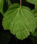 Himbeere Blatt gruen Rubus idaeus 08