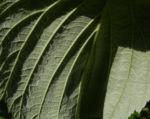 Himbeere Blatt gruen Rubus idaeus 09