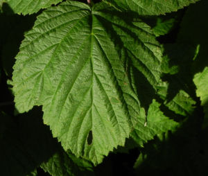 Himbeere Blatt gruen Rubus idaeus 10