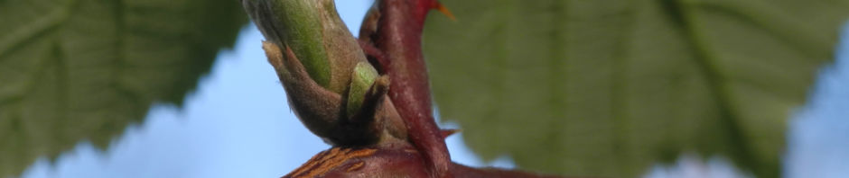 himbeere-frucht-rot-rubus-idaeus