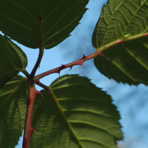 Himbeere Blatt gruen Rubus idaeus 20