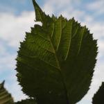 Himbeere Blatt gruen Rubus idaeus 21