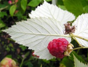 Himbeere Frucht rot Rubus idaeus 04