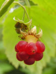 Himbeere Frucht rot Rubus idaeus 07
