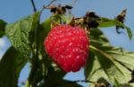 Himbeere Frucht rot Rubus idaeus 09