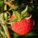 Zurück zum kompletten Bilderset Himbeere Frucht rot Blatt grün Rubus idaeus