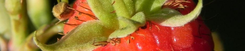 himbeere-frucht-rot-blatt-gruen-rubus-idaeus