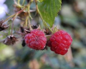 Himbeere Frucht rot Rubus idaeus 21