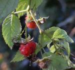 Himbeere Frucht rot Rubus idaeus 22