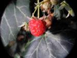 Himbeere Frucht rot Rubus idaeus 24