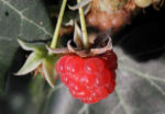 Himbeere Frucht rot Rubus idaeus 25