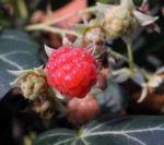 Himbeere Frucht rot Rubus idaeus 26
