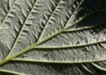 Himbeere Strauch Frucht rot Rubus idaeus 04