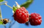 Himbeere Strauch Frucht rot Rubus idaeus 05