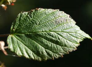 Himbeere Strauch Frucht rot Rubus idaeus 06