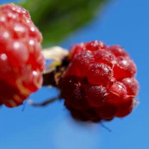 Himbeere Strauch Frucht rot Rubus idaeus 07
