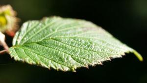Himbeere Strauch Frucht rot Rubus idaeus 08