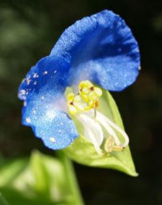 Himmelblaue Tagblume Bluete blau Commelina coelestis 01