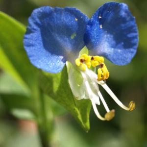 Himmelblaue Tagblume Bluete blau Commelina coelestis 03