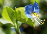 Himmelblaue Tagblume Bluete blau Commelina coelestis 04