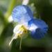 Zurück zum kompletten Bilderset Gemeine Tagblume Blüte blau Commelina communis