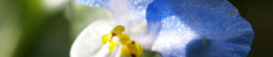 Anklicken um das ganze Bild zu sehen Gemeine Tagblume Blüte blau Commelina communis
