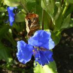 Himmelblaue Tagblume Commelina coelestis 37 90