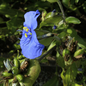 Himmelblaue Tagblume Commelina coelestis 37 91