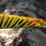 Hirschzunge Farn Blatt gruen Asplenium scolopendrium 02