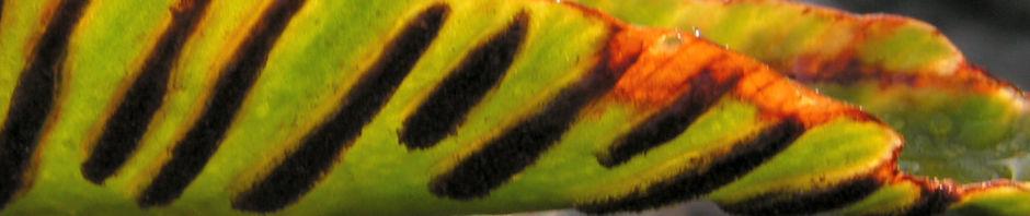 hirschzunge-farn-blatt-gruen-asplenium-scolopendrium