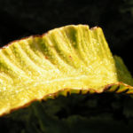 Hirschzunge Farn Blatt gruen Asplenium scolopendrium 04