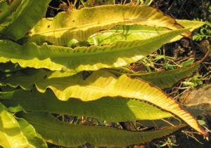 Hirschzunge Farn Blatt gruen Asplenium scolopendrium 05