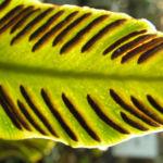 Hirschzunge Farn Blatt gruen Asplenium scolopendrium 06