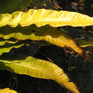 Hirschzunge Farn Blatt gruen Asplenium scolopendrium 07