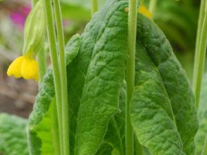 Hohe Schluesselblume Blatt gruen Primula elatior0 2