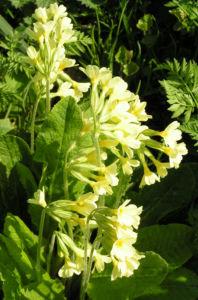 Hohe Schluesselblume Bluete gelb Primula elatior 01