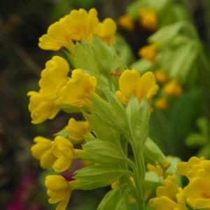 Hohe Schluesselblume Bluete gelb Primula elatior0 0