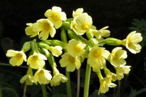 Hohe Schluesselblume Bluete gelb Primula elatior 04