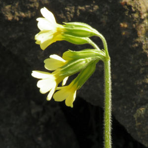 Hohe Schluesselblume Bluete gelb Primula elatior 06