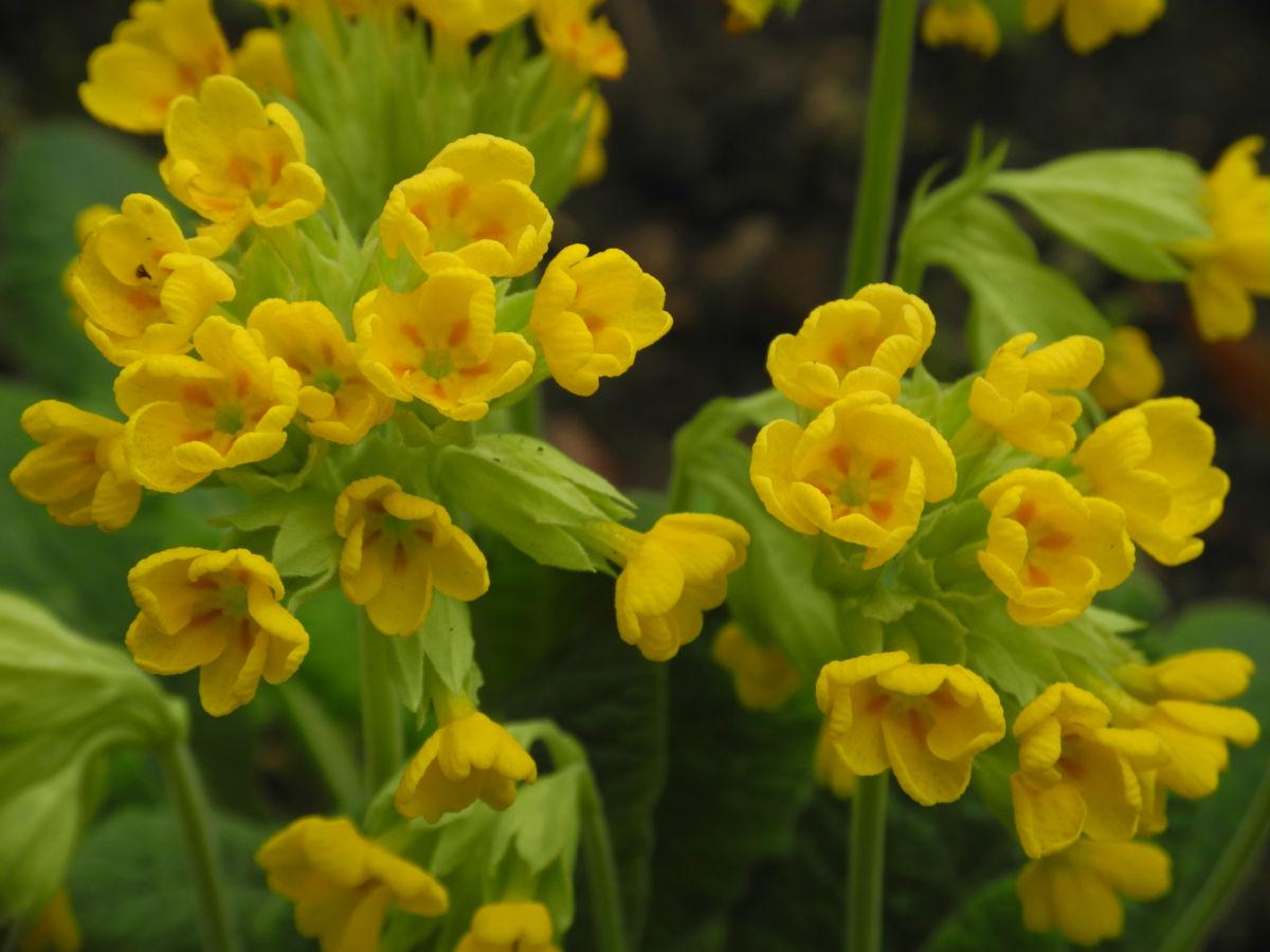 Hohe Schluesselblume Bluete gelb Primula elatior