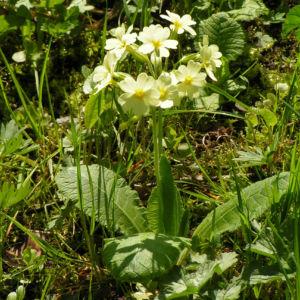 Hohe Schluesselblume Bluete gelb Primula elatior 10