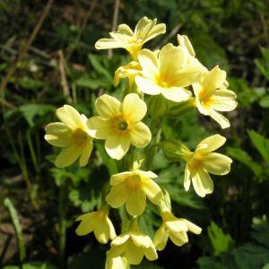 Hohe Schluesselblume Bluete gelb Primula elatior 11