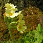 Hohe Schluesselblume Bluete hellgelb Primula elatior 01