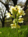 Zurück zum kompletten Bilderset Hohe Schlüsselblume Blüte hellgelb Primula elatior