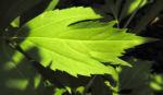 Hoher Sonnenhut Blatt gruen Rudbeckia nitida 01