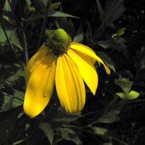 Hoher Sonnenhut Bluete gelb Rudbeckia nitida 01