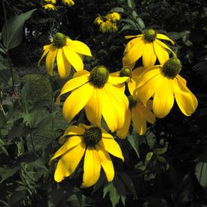 Hoher Sonnenhut Bluete gelb Rudbeckia nitida 02