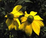 Hoher Sonnenhut Bluete gelb Rudbeckia nitida 03