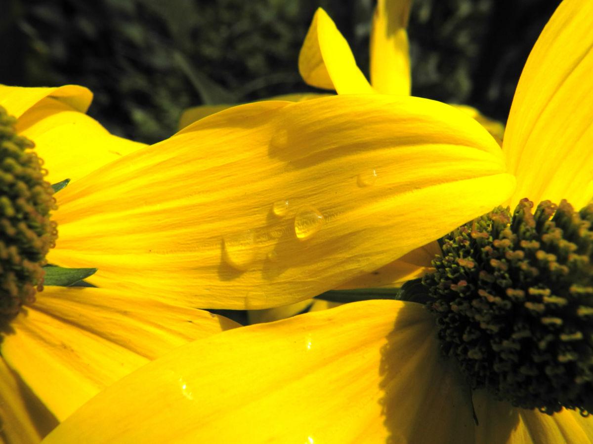 Hoher Sonnenhut Bluete gelb Rudbeckia nitida