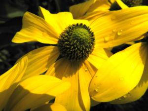 Hoher Sonnenhut Bluete gelb Rudbeckia nitida 09